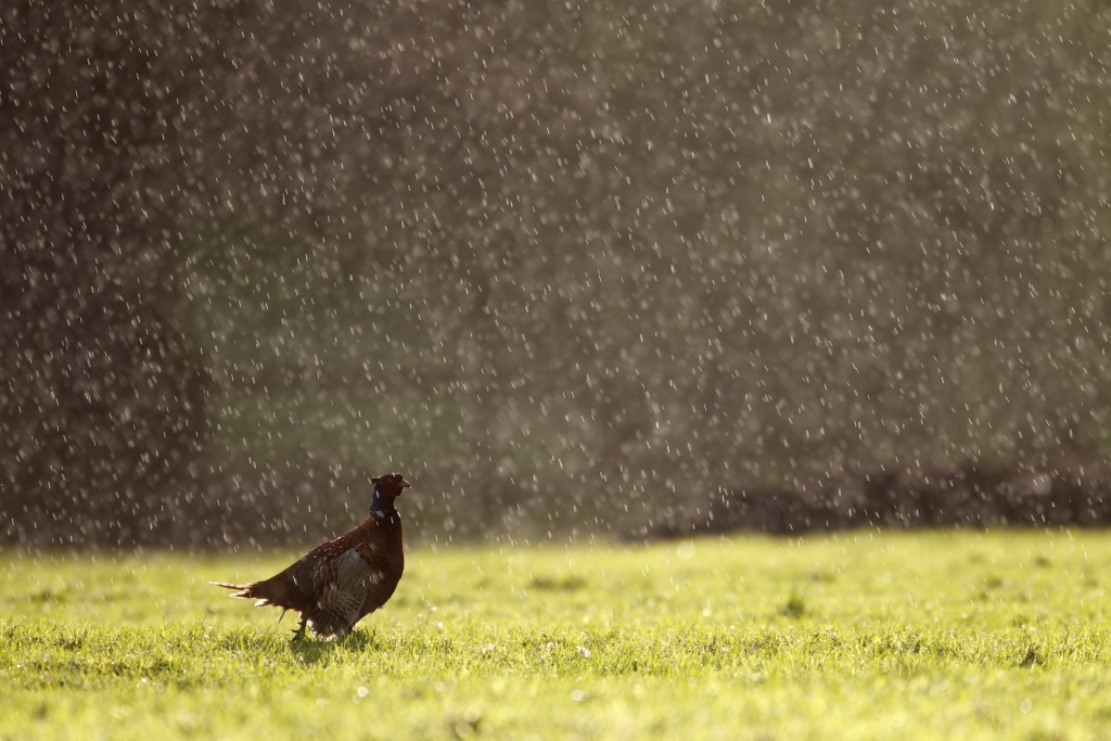 A SHOWER OF PHEASANTS