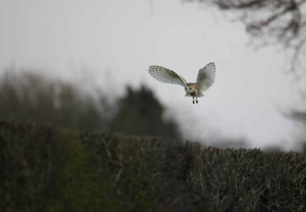 BARN OWL HUNTING, SHREWSBURY